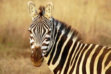 Zebra Kenia Safari Reisen Urlaub