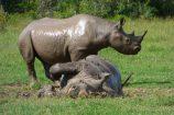 Kenia Safari Tagebuch Nashörner