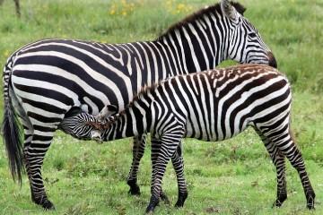 Kenia Safaritagebuch Zebras