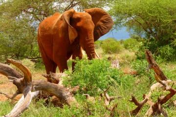 Kenia Safari Tour Tsavo Elefant
