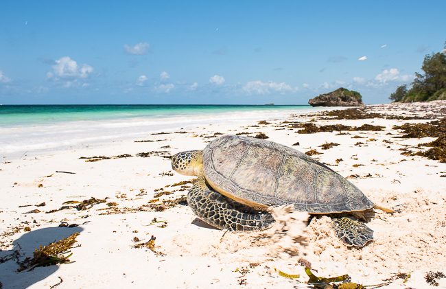Strand in Kenia Schildkröte