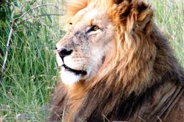 Kenia Safari Löwe