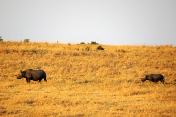 Rhinos Masai Mara Kenia