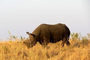 Nashorn in der Masai Mara Kenia