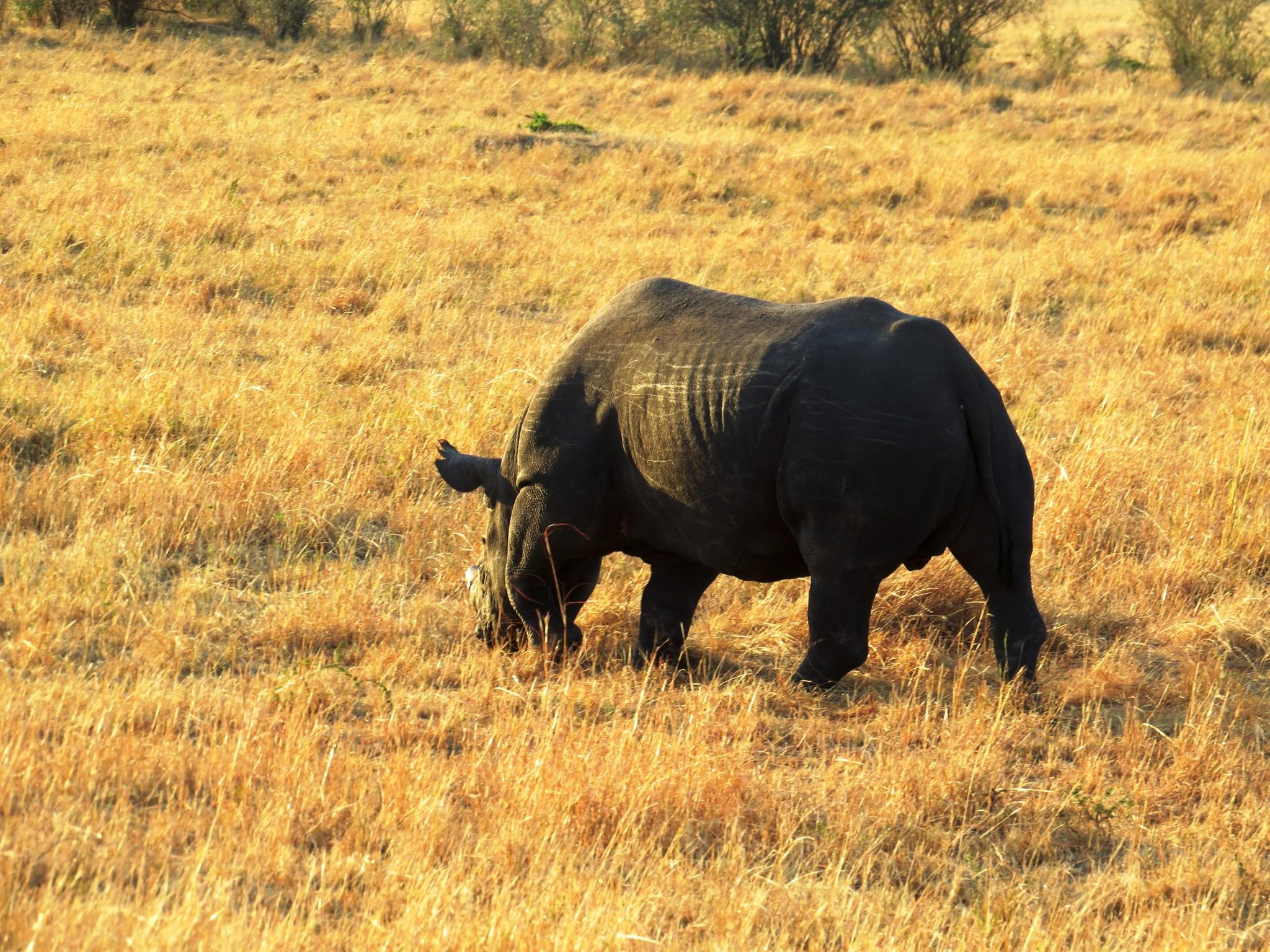 Rhino Masai Mara Kenia