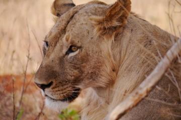 Löwe Tsavo