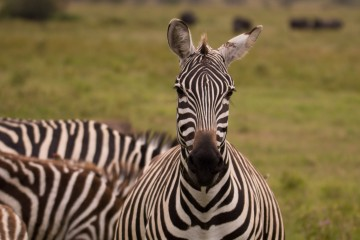 Kenia Safari Zebras Kunden Feedback