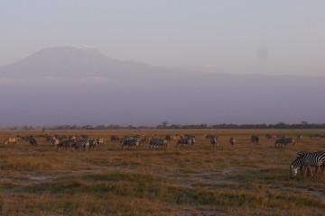 Zebras am Kilimanjaro