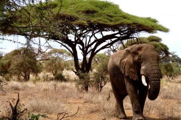 Elefant im Amboseli Nationalpark Kenia auf Kenia Safari Tour