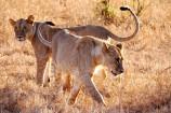 Junge Löwen in Kenia - Kenia Safaritour