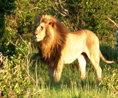 Löwe gesichtet bei einer Kenia Safari in der Masai Mara