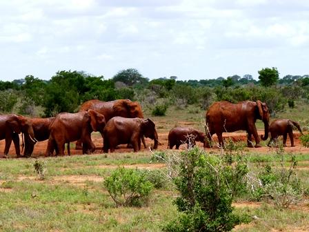 Rote Elefanten in Kenia