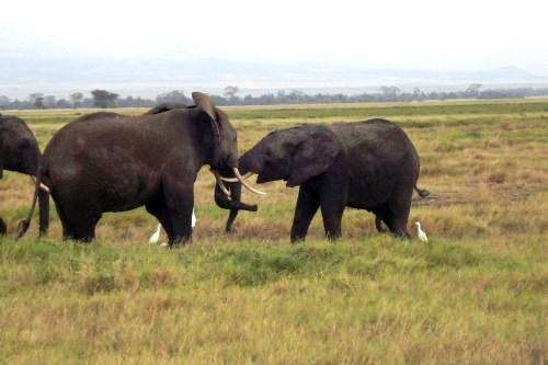 Elefanten im Amboseli Natinalpark Kenia