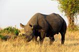 Nashorn_Bulle-Kenia-Safari-Tierbeobachtung