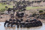 Tierwanderung-Kenia-Safari-Masai-Mara-GREAT-MIGRATION