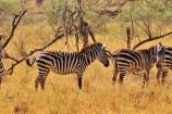 Große Tierwanderung in der Masai Mara Kenia