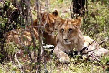 Löwen in der Masai Mara in Kenia