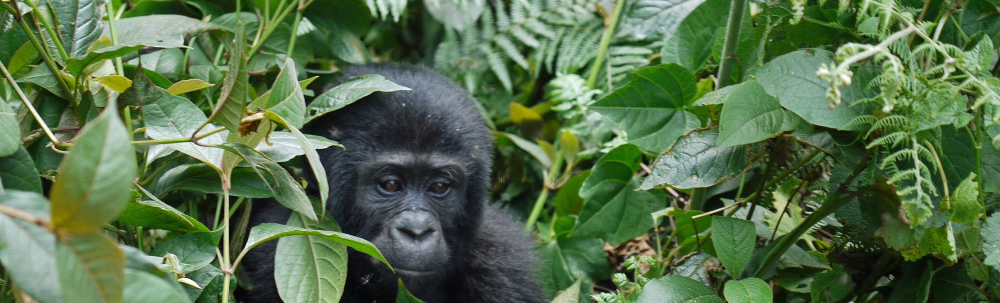 Gorilla Uganda Ruanda Gruppenreise Reisekontor Schmidt