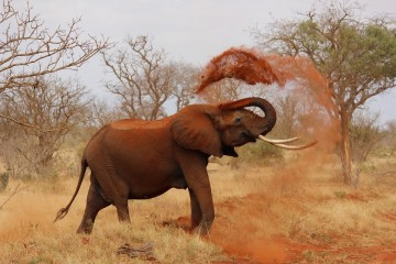 Elefant im Tsavo Nationalpark Kenia