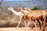 Kamele in Kenia