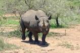 Nashorn im Tsavo Ost Kenia