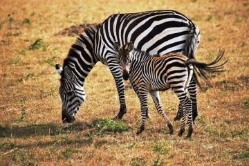 Zebras - in Kenia auf Safari - mit Keniaurlaub
