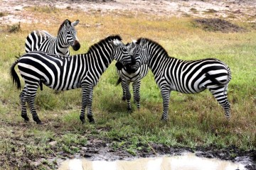 Zebras in der Masai Mara - Safari