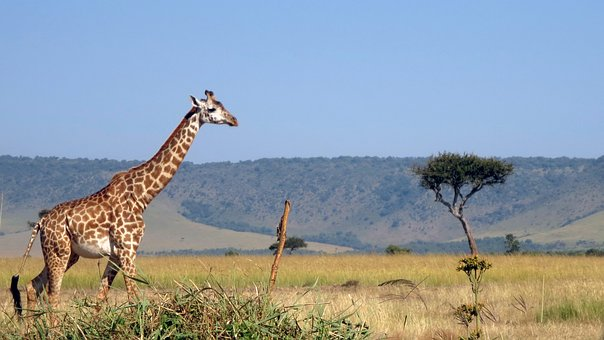 Giraffe in der Masai Mara Kenia