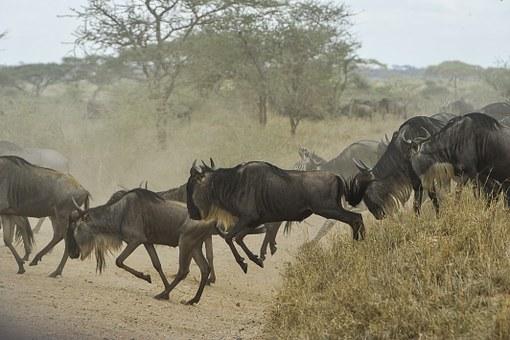 Gnuwanderung Kenia Masai Mara