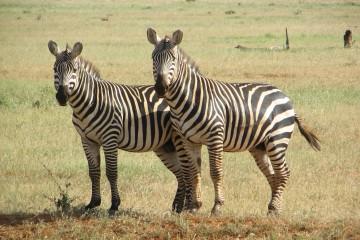 Kenia Urlaub Safari Reisebericht