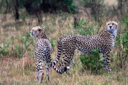 Reisebericht Masai Mara Safari Keniaurlaub