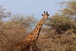 Giraffe-in-freier-Wildbahn-Tierbeobachtungen-auf-Safari