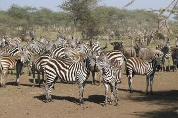Im Keniaurlaub auf Kenia Safari Reise in der Masai Mara - Zebras