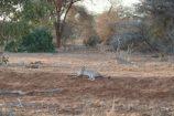 Wildtierbeobachtung-Safari-in-Kenia-Raubkatzen