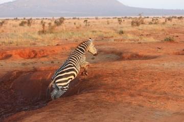 Kenia Safari Reise Tsavo Zebra