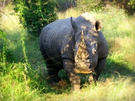 Breitmaulnashorn Kenia