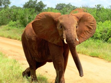 Kenia Urlaub Safari Elefant im Tsavo Nationalpark auf Kenia Safari Reise