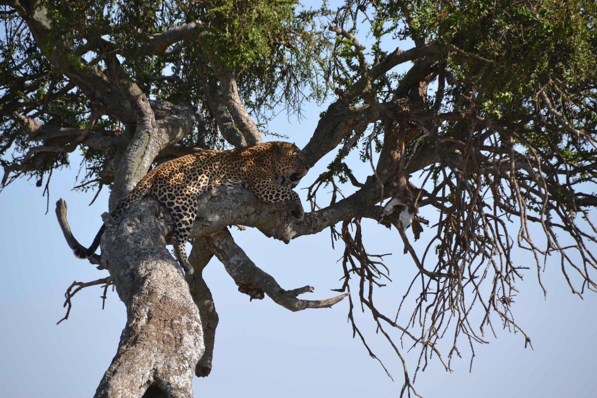 Kenia Safari Reise Leopard im Baum - Keniaurlaub
