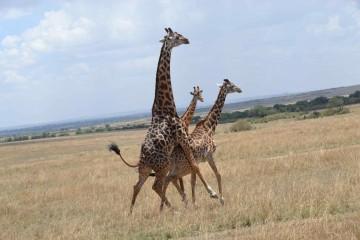 Kenia Safari Urlaub Giraffen - Keniaurlaub