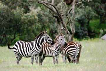 Keniaurlaub - Zebras auf Keniasafari Reise
