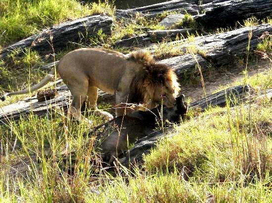 Kenia Urlaub Kenia Safari Reise Löwe mit Beute