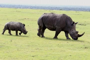 Kenia Gruppenreise mit Keniaspezialist Reisekontor Schmidt auf Kenia Safari Nashorn Baby
