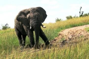 Kenia Safari Reise Elefant