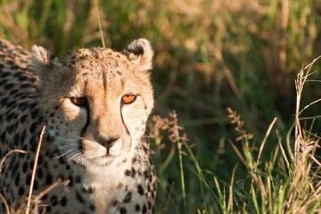 Gepard Kenia Safari Reise - Kenia Urlaub mit Keniaspezialist Reisekontor Schmidt