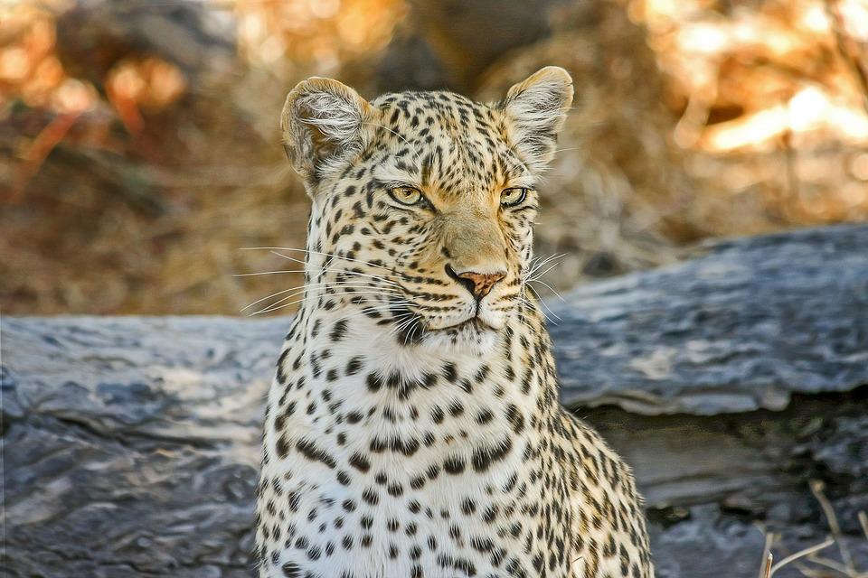 Leopard auf Safari in Kenia mit Keniaspezialist Reisekontor Schmidt Kenia Urlaub