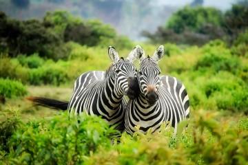 Zebra auf Kenia Safari in Kenia mit Keniaspezialist Reisekontor Schmidt Kenia Urlaub