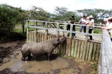 Nördliches Breitmaulnashorn Sudan tot - Ol Pejeta - Besuch kenia urlaub