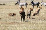 Gepard Kenia Safari Reisebericht