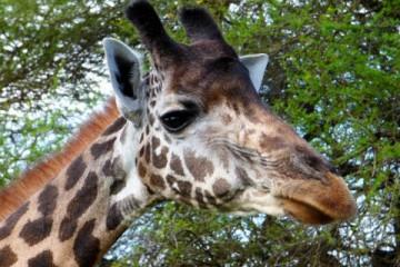 Giraffe bei einer Kenia Safari im Kenia Urlaub von Keniaspezialist Reisekontor Schmidt