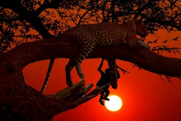 Leopard im Sonnenuntergang während einer Kenia Safari Reise - Keniaurlaub Keniaspezialist Reisekontor Schmidt